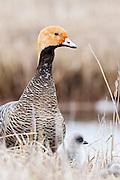 Emperor Goose, Chen canagica, Yukon Delta NWR, Alaska