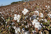 Cotton bolls ready for harvest at a farm outside Columbia, South Carolina.