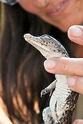 Israel, Aravah, Crocodile and alligator breeding farm Crocodile hatching