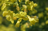 Yellow blossom on kale plant gone to seed