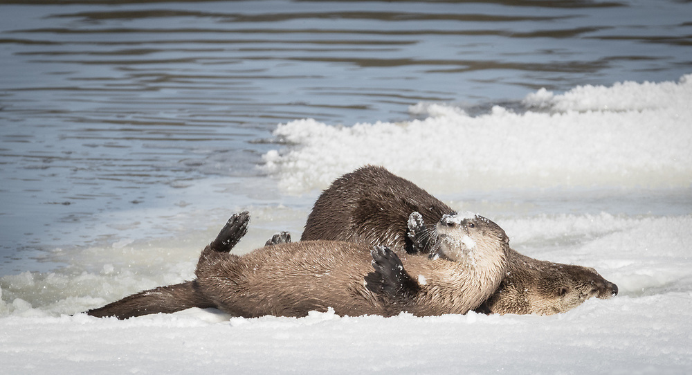 Lontra canadensis, Yellowstone National Park, Wyoming