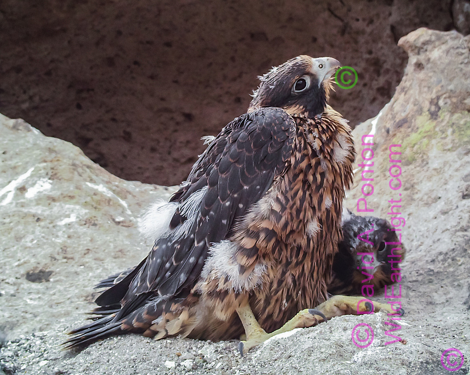 Nestling peregrine falcon, 33 days old, watching alertly.  © 2013 David A. Ponton