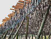 Cod fish dry on racks protected from birds by a net at Reine on Moskenesøya (the Moskenes Island), in the Lofoten archipelago in Nordland county, Norway.
