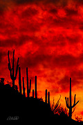 A fiery Arizona desert sunset blazes behind a group of Saguaro cactus (Carnegiea gigantea) growing along a mountain ridgeline.  The Saguaro cactus can grow 50-feet-tall, is composed of 85% water, and can weigh over 8 tons.  They are the largest member of the cactus family in the United States. Their skin is smooth and waxy with stout, 2-inch spines clustered on their ribs. The outer pulp can expand like an accordion when water is absorbed, increasing the diameter of the stem and raising its weight by up to a ton.  <br /> <br /> The Saguaro generally takes 47 to 67 years to attain a height of 6 feet, and can live for 150 – 200 years.  During that lifetime, a single cactus will produce 40 million seeds; however, in its harsh native environment, only one of these seeds will survive to replace the parent plant.  Indeed, young Saguaro's must start life under a tree or shrub to prevent them from desiccating.