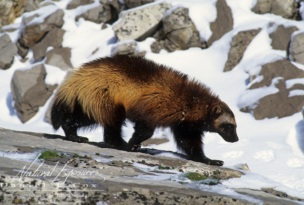 Wolverine in the snowy foothills of the Rocky Mountains of Montana. Captive Animal