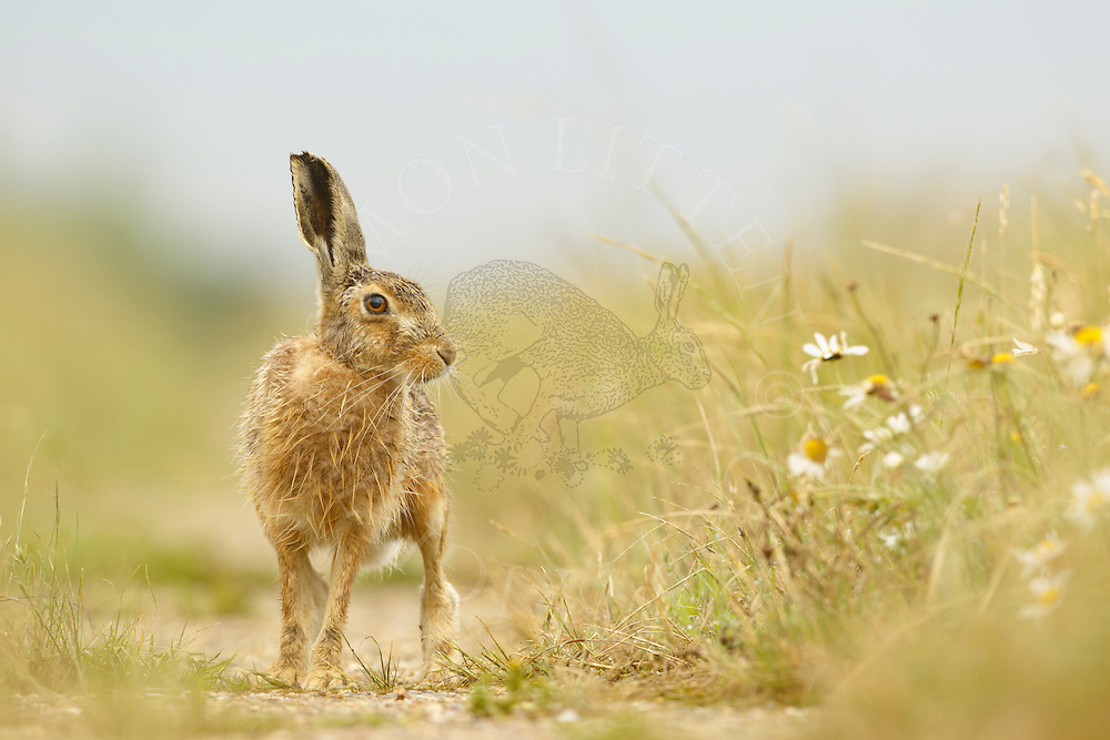 European Hare (Lepus europaeus) adult on farmland track, South Norfolk, UK. June.