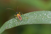 Field Cricket (Nisitrus vittatus) from Tabin area, Sabah, Borneo.