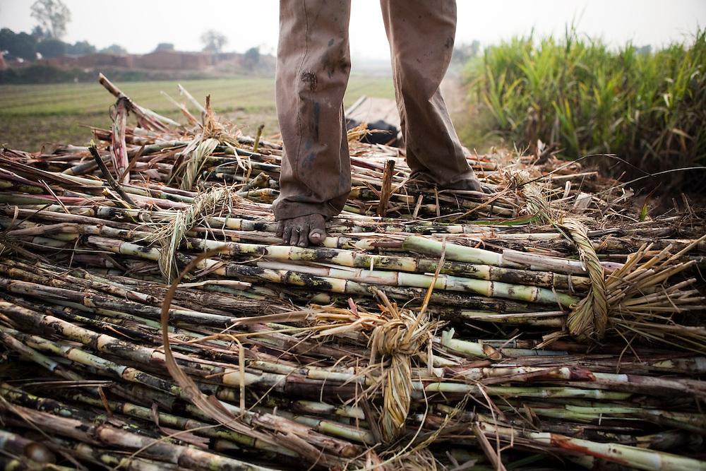 A farmer stands on cut sugar cane stalks loaded on a bullock cart in the outskirts of Modi Nagar, in Uttarpradesh, India, on Friday, November 12, 2010. Photographer: Prashanth Vishwanathan/Bloomberg News
