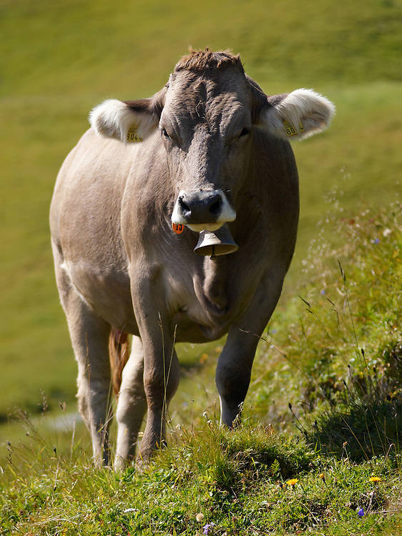 Switzerland - Brown cow
