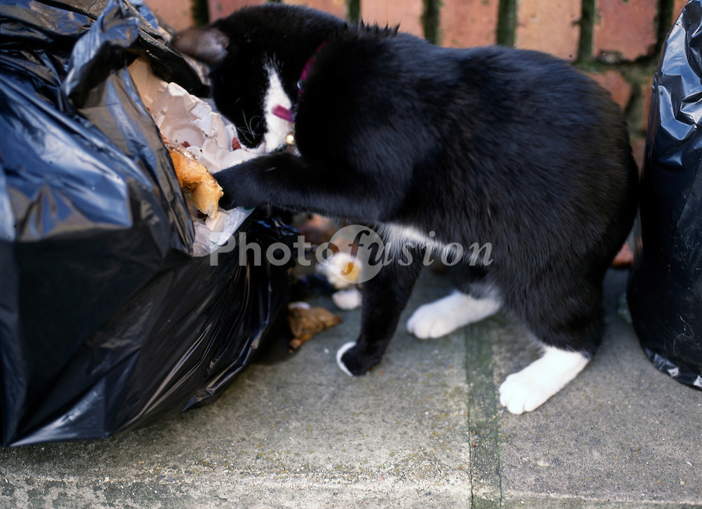 Urban cat scavenging in garbage bag UK