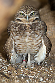 Owls Editorial and Stock Images