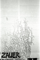 """Berlin februar 2012.<br /> Blomstrer klatrer oppover en hvit vegg i Berlin. På veggen har noen tagget skriften """"Zauer"""".<br /> Foto: Svein Ove Ekornesvåg"""