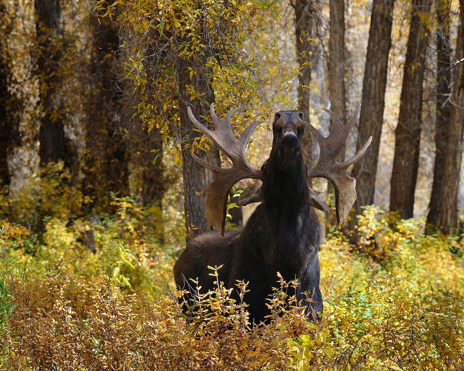 A bull moose (Alces alces) lifts his head up to inhale the scent of a nearby cow, Grand Teton National Park, Wyoming