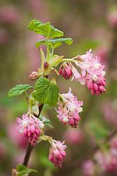 Ribes sanguineum. Flowering currant