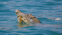 A saltwater crocodile swims with a mouthful of seaweed and meat after feasting on a dead whale in Camden Sound.
