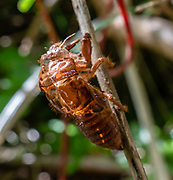 Shedded cicada skin. The chorus cicada, Amphipsalta zelandica, is the most common species of cicada in New Zealand, where it is endemic and found in most areas. They typically live in forests and areas with open bush, where their left-over nymph skins can be seen on tree trunks and branches during the summer months. Cicadas are a superfamily, the Cicadoidea, of insects in the order Hemiptera (true bugs). They have an exceptionally loud song, produced in most species by the rapid buckling and unbuckling of drumlike tymbals. Pororari River Track in Paparoa National Park, between Westport and Greymouth in the West Coast region of New Zealand's South Island. The track follows an impressive limestone gorge along the river with big rocks set in deep pools, through strikingly beautiful forest subtly transitioning between subtropical and temperate ecozones. Pororari River flows northwest from its sources in the Paparoa Range to reach the Tasman Sea at Punakaiki. Stroll 1 km to a seat overlooking an attractive river bend. At about 3.5 km turn left at the Inland Pack Track to soon reach the swing bridge, a good turnaround point.