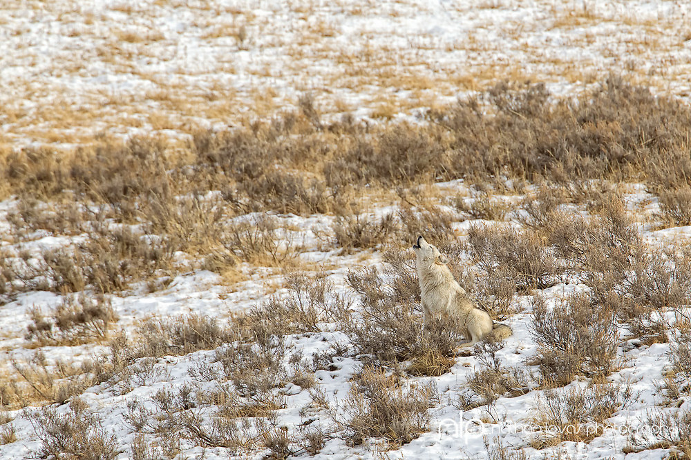 Alpha female wolf of Canyon pack howling at rendevouz site; Yellowstone NP in wild.