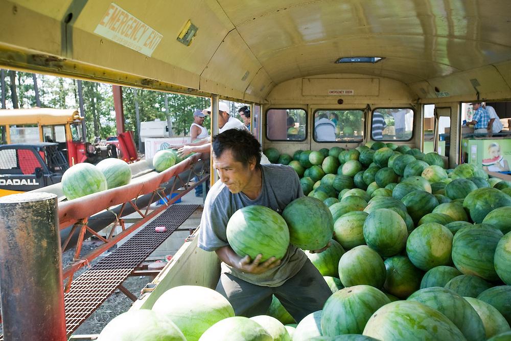 Worker on watermelon farm