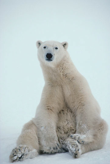 Polar Bear, (Ursus maritimus) Adult sitting. Churchill, Manitoba. Canada.