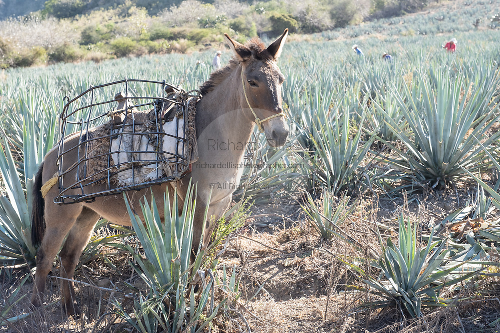 A donkey carries baskets filled with blue agave pineapple-like cores down the hillside during harvest in a field owned by the Siete Leguas tequila distillery in the Jalisco Highlands of Mexico. Siete Leguas is a family owned distillery crafting the finest tequila using the traditional process unchanged since for 65-years.