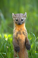 Ever elusive, the pine marten or American marten, is a resident of the coniferous forests of the Greater Yellowstone Ecosystem. This extremely agile member of the weasel can often be spotted streaking across roadways before it adeptly disappears into the thick of the forest.