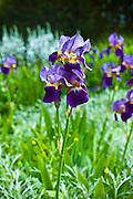 Bearded iris in a garden in County Cork, Ireland