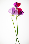 Using a lightbox to illuminate the petals of the sweet pea flower. The flowers were picked from my garden. Santa Monica, CA 5.17.18