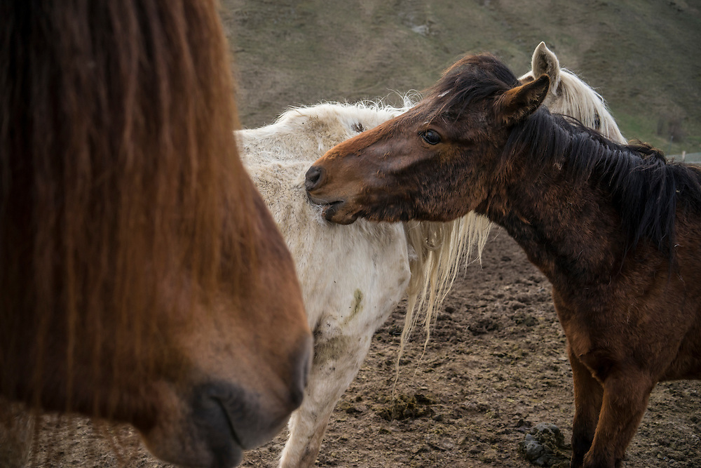 VANK, NAGORNO-KARABAKH - APRIL 22: Two Karabakh horses (brown), a breed originally developed in the region which is now faced with extinction, and another horse on a farm in the mountains on April 22, 2015 near Vank, Nagorno-Karabakh. Since signing a ceasefire in a war with Azerbaijan in 1994, Nagorno-Karabakh, officially part of Azerbaijan, has functioned as a self-declared independent republic and de facto part of Armenia, with hostilities along the line of contact between Nagorno-Karabakh and Azerbaijan occasionally flaring up and causing casualties. (Photo by Brendan Hoffman/Getty Images) *** Local Caption ***