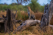 A leopard, Panthera pardus, standing on a dead fallen tree and looking into the camera, Khwai concession, Okavango delta, Botswana.