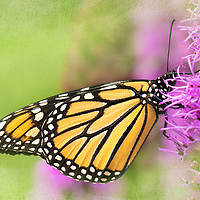 Monarch butterfly, Danaus plexippus, nectaring on liatris (blazing star) in native plant garden. The monarch is an iconic pollinator species.