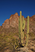 Saguaro cactus (Carnegiea gigantea) grow in Tucson Mountain Park in the Sonoran Desert,Tucson, Arizona, USA.