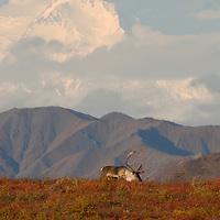 Caribou bull grazes under the massive peaks of Denali.