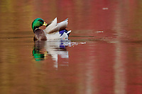 """Preening Mallard""<br /> A male mallard preening in Walden Pond with red reflections of fall colors on the water."