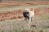 Chukar Hunting at Marsh Lake preserve in Victoria, MN Cecil Bell and his rescued Lab mix Bric