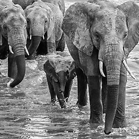Elephants crossing Mara River, Serengeti, Tanzania