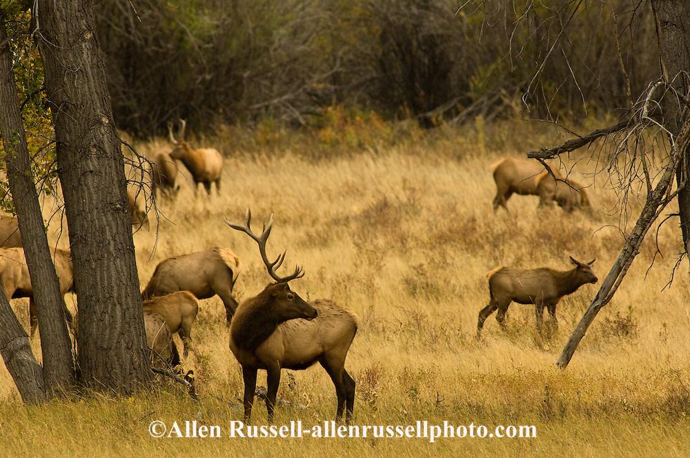 Bull elk (Cervus canadensis) in rut watching over his harem, Charles M Russell National Wildlife Refuge, Montana