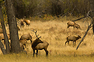 Bull elk (Cervus canadensis) in rut watching over his harem, Charles M Russell National Wildlife Refuge, Montana