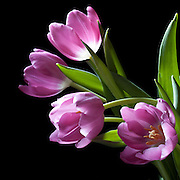 I purchased these lovely tulips and had lots of fun photographing them.I find tulips to be very photogenic and cooperative subjects.