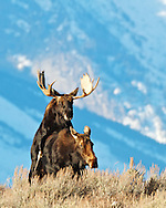 Moose having sex