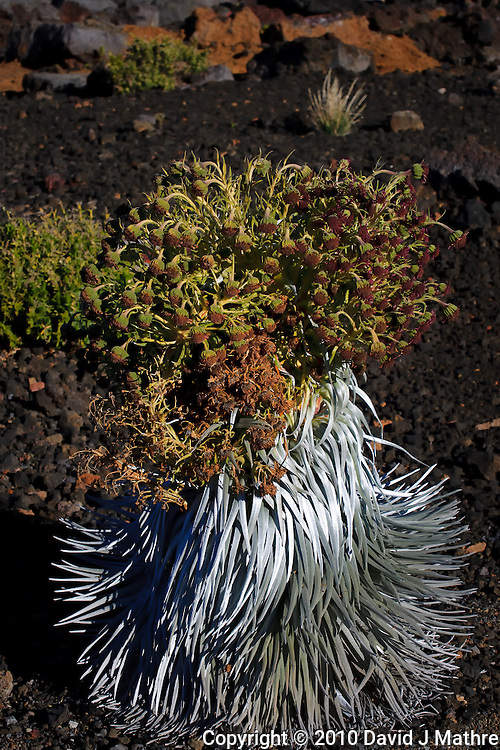 Haleakala Silversword Plant. Image taken in Haleakala National Park. Image taken with a Nikon D3x and 70-300 mm VR lens (ISO 100, 70 mm, f/8, 1/500 sec)