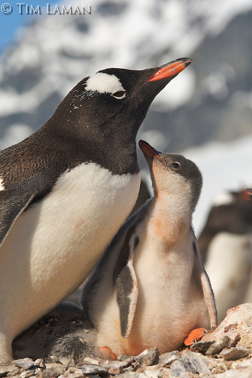 Family portrait of Gentoo Penguins (Pygoscelis papua) with two chicks on Cuverville Island.