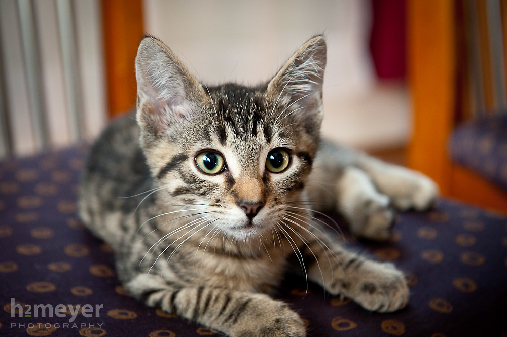 "Adopted kitten, ""King Nigel XI"" is right at home in his new surroundings.  Domestic short hair gray tabby with strong bengal markings."