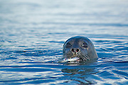 Harbour seal (landselur - Phoca vitulina) is the most common seal in Iceland. This one in Jökulsárlón lagoon is eating fish.