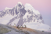Gentoo Penguin<br /> Pygoscelis papua<br /> Colony at sunset<br /> Petermann Island, Antarctica
