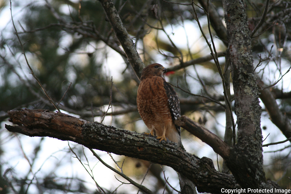 Sharp shinned Hawk surveying surroundings from old oak tree