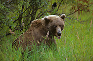 USA, Vereinigte Staaten Von Amerika: Grizzlybär (Ursus arctos horribilis), macht einen kleine Pause im Gras während er einen Lachs frisst, Katmai Nationalpark, Alaska | USA, United States Of America: Brown bear (Ursus arctos horribilis), having a little break while feeding on salmon in the grass, Katmai National Park, Alaska |