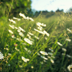 Hampton, NH.Ox-eye daisies, chrysanthemum leucanthemum, on the edge of a hay field in the early morning at the Hurd Farm.