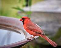 Northern Cardinal. Image taken with a Nikon D5 camera and 600 mm f/4 VR telephoto lens (ISO 1600, 600 mm, f/8, 1/160 sec).