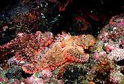 UNDERWATER MARINE LIFE WEST PACIFIC, Southwest FISH; Scorpionfish Scorpaenidae