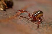 Pseudoscorpion (Chelifer cancroides) on fallen oak tree leaf, also known as a false scorpion or book scorpion, in leaf litter. Westensee, Kiel, Germany | Der Pseudoskorpion ist ein Räuber, der im Streu (hier sind es Eichenblätter) nach Collembolen und Milben jagt. Westensee, Kiel, Deutschland